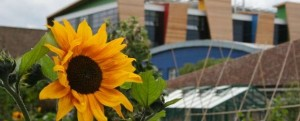 Sunflower at Phoenix School Farm and Learning Zone